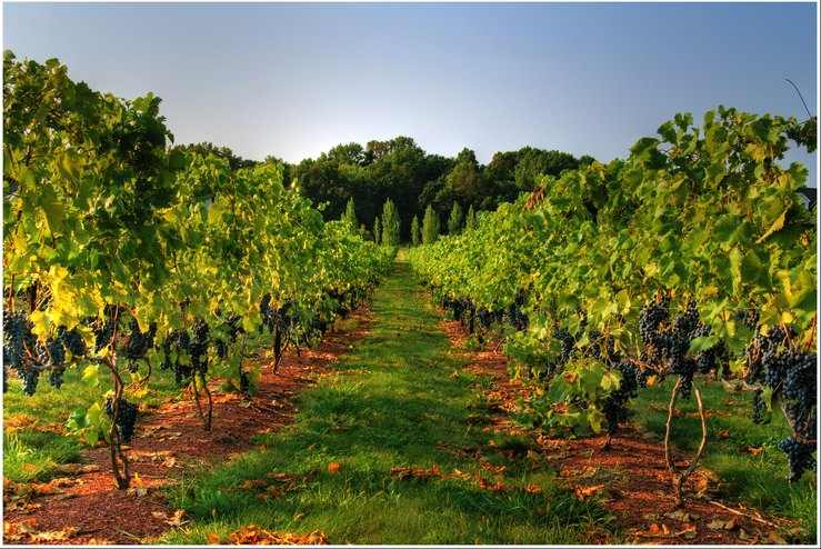 By Planting Grape Vines What S The Acreage To Production Ratio
