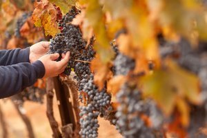 How to make wine - Selecting the best grapes